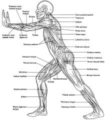 Anatomy And Physiology The Muscular System Human Muscular System Diagram 363 Diagram Picture Biogeo3eso