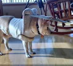 Halo For Blind Dogs Assistive Technology At For Blind Dogs U2014 Wait What