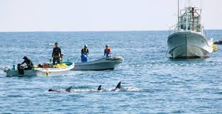 half of dolphins caught in japanese drive hunts are exported the