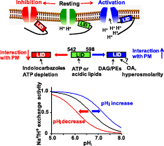 na h exchanger 1 is regulated via its lipid interacting domain