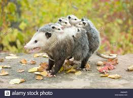 common opossum stock photos u0026 common opossum stock images alamy