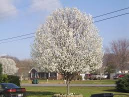 it s official bradford pears are the worst trees the lost ogle