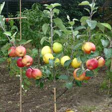 apple trees for sale self fertile apple trees s
