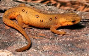 Salamandridae