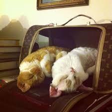 Jet Lag Meme - jet lagged kitty cats imgur