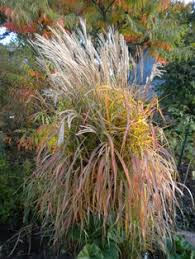 miscanthus grows each year to 10 in minnesota