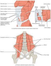 Anatomy Human Abdomen Anatomy Of The Abdomen Muscles Abdominal Muscles Anatomy Anatomy