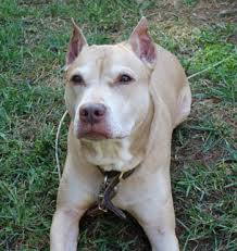 american pitbull terrier natural ears dog antibiotic side effects