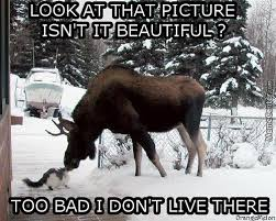 Moose Meme - moose memes best collection of funny moose pictures