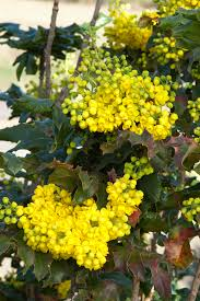 plants native to oregon oregon grape holly monrovia oregon grape holly