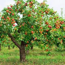 Fruit Tree Identification - tree identification flashcards easy notecards