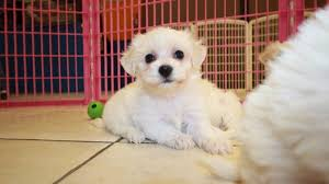 bichon frise dog breeders bichon frise puppies for sale in ga puppies for sale local breeders