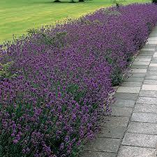 Most Fragrant Lavender Plant Munstead Lavender Seeds From Park Seed