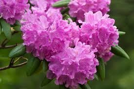 blooms flowers pink rhododendron flowers in bloom