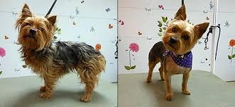 types of yorkie haircuts dog grooming carol s pet grooming murrieta temecula wildomar