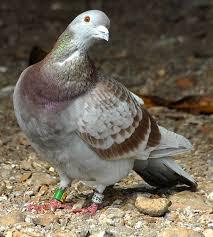 cuisine des pigeons voyageurs pigeon voyageur 1 par didier marzin sur l internaute