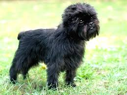 affenpinscher and chihuahua 10 of the smallest dogs in the world people that love dogs