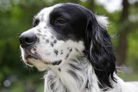 types of setter dog breeds 8 spotted dog breeds pawculture