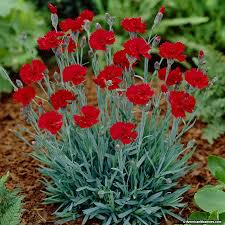 dianthus flower dianthus alpine pinks american