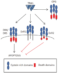 trail is able to interact with five receptors 2 transmembrane
