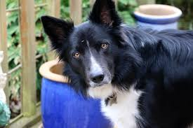 belgian shepherd nz border collie wikipedia