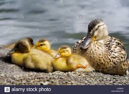 a group of young ducklings with an duck sleeping on the
