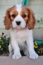 Comfort Retriever Puppies For Sale Dog Breeder Fur Haven K9s