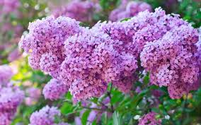 lilac flowers lilac flowers wallpapers