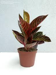 aglaonema plantfiles pictures chinese evergreen philippine evergreen u0027pink