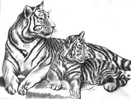 pencil art of a tiger pencil drawing collection