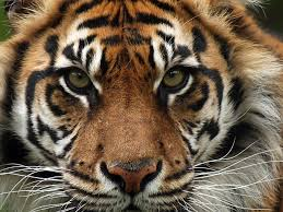 the meaning of the in which you saw tiger
