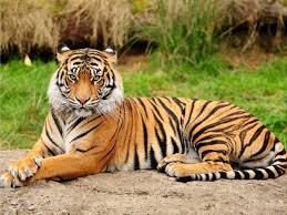 interpretation of a dream in which you saw tiger