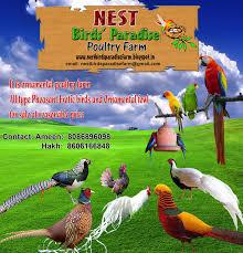 nest birds paradise amherst pheasant