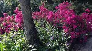 Pink Spring Flowering Shrubs - mistral azalea monrovia mistral azalea