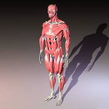 Human Anatomy Full Body Picture Human Anatomy 3d Model Free Download Cadnav Com