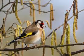 european goldfinch wikipedia