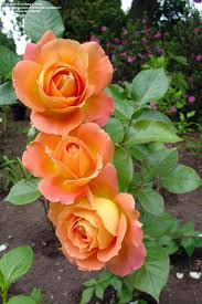 945 best roses images on pinterest pretty flowers beautiful