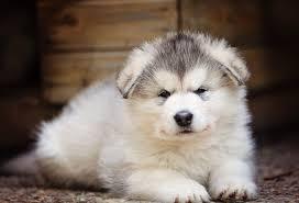 belgian shepherd x malamute alaskan malamute dog breed information pictures characteristics