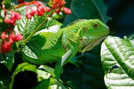 imágenes de iguanas verdes que comen las iguanas verdes lista completa de alimentos