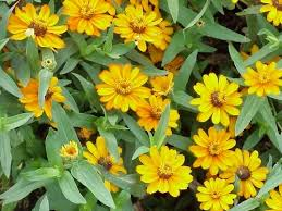 ky garden flowers verbena to zinnia