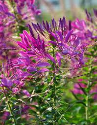 Cleome Flower - how to grow cleome hometalk