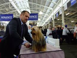 silky terrier hair cut australian silky terrier club of victoria inc