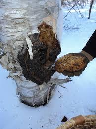 how to harvest chaga mushrooms