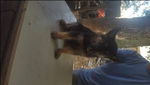 australian shepherd puppies for sale 34655 litter of 6 german shepherd dog puppies for sale in hempstead tx