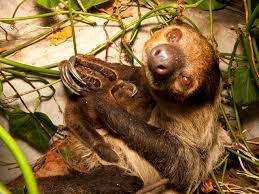 4 toed sloth national aquarium linne s two toed sloth
