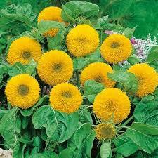 teddy sunflowers sunflower teddy seeds