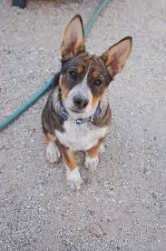 australian shepherd australian cattle dog mix 8 best ausky fever images on pinterest animals husky mix and
