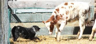 australian shepherd puppy training dog training u2013 k j ranch livestock and working dogs