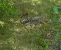 Coyote In My Backyard West Seattle Blog U2026 Coyotes