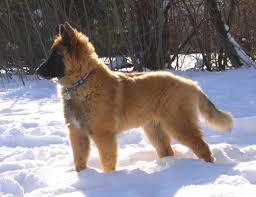 belgian shepherd ornament 14 best belgian tervuren images on pinterest dog cartoons